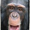 【チンパンジー】