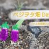 ベジヲタ畑 Day9 ~ナス発芽揃い! データと考察~