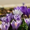 我家の庭にも春…