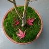 苔の鉢と紅葉・モミジ2018