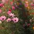 朝陽と秋桜!