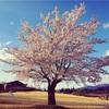 安曇野ちひろ美術館、桜が満開だよ。