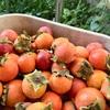 ニュージャージーの柿
