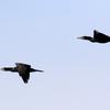 白梅が咲いている涸沼上空を飛ぶカワウとトビ