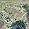 農作業に挑戦しましょう!