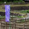 花菖蒲 赤塚山公園 2016 豊川