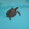 【旅行】小笠原諸島への旅⑥ ウミガメに会いたい