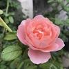 地植えでしっかり育ったバラは強い。