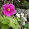 オキザリス ボーウィー(ハナカタバミ) Oxalis bowiei