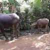 コンポンチャムの水牛さん㏌カンボジア生活