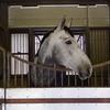 平安騎馬隊のお馬さん。