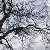 柿の木の枝