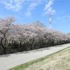 多摩川桜百景 -29. 根川桜並木-