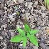 庭に定植の山菜から新芽、リンゴの移植