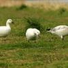 荒川河川敷の草を食べる仲良しハクガン3兄弟