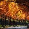 太陽が丘メタセコイヤ並木道「紅葉」
