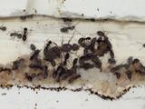 【カワラケアリ飼育日記3】我が家で飼育しているアリたちの活動が活発になってきました