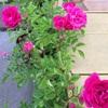 先日と今日のバラの様子と、テントウムシさん。2017/05/15
