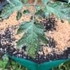 ミニトマトの葉にに白っぽいシミが発生。病気を診断して対策!