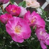 バラの予防消毒