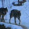 雪の上のオオカミ