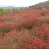 日本一のツツジ山