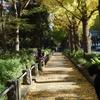 黄金色に色づく横浜「山下公園通りの銀杏並木」
