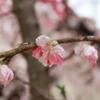 桜見てきた