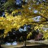 奈良の大銀杏の色付きを見てきた@2020