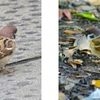野鳥の腸内微生物叢の研究 都市部のスズメ vs 農村部のスズメ