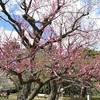 京都御苑の梅林で見頃の梅と近衛のしだれ桜の開花状況。
