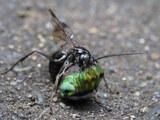 ベッコウバチが獲物のクモを運ぶ場面を撮影できた
