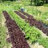 ニンニク収穫、夏野菜摘芯