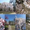 春を感じて・・京都御苑でお花見茶会しましょ