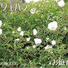 2011/05/03 ナニワイバラが順次開花!!