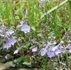 青い小花たち