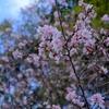 年末に寒桜が咲いていました