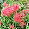彼岸花が咲く奈良県平群道の駅 すぎた珈琲店前