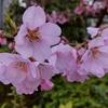 北国も桜が咲き始めました