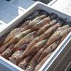 2018年5月21日 小浜漁港 お魚情報