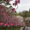 2018.04.14 静峰公園の八重桜