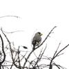 キヨスクのマスコットになっている鳥【イカル】
