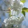 真っ白が美しい:白いサトザクラ