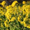 初春の菜の花 神奈川県 吾妻山公園