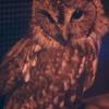 フクロウ Strix uralensis
