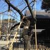 桜はまだだね・・・でも梅が / 永福町大勝軒 @ 京王井の頭線・永福町