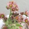 紅葉イワレンゲの花