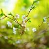 イシヅチサクラが咲いてました
