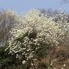 早春の神戸森林植物園。コブシ、ハクモクレン満開。
