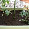 ミニトマト、ナス、きゅうりの植えつけ